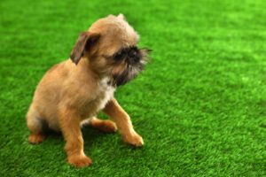 Brussels Griffon dog on artificial grass