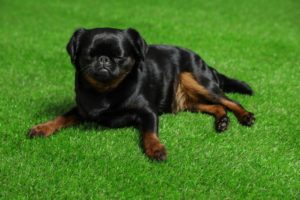 black dog laying in pet friendly turf